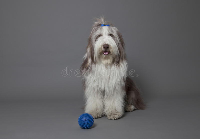 Download Bearded Collie stock image. Image of mammals, canine - 26334139
