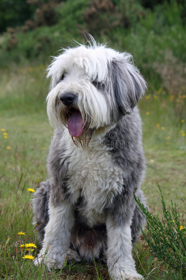 Free Bearded Collie Royalty Free Stock Images - 5535409