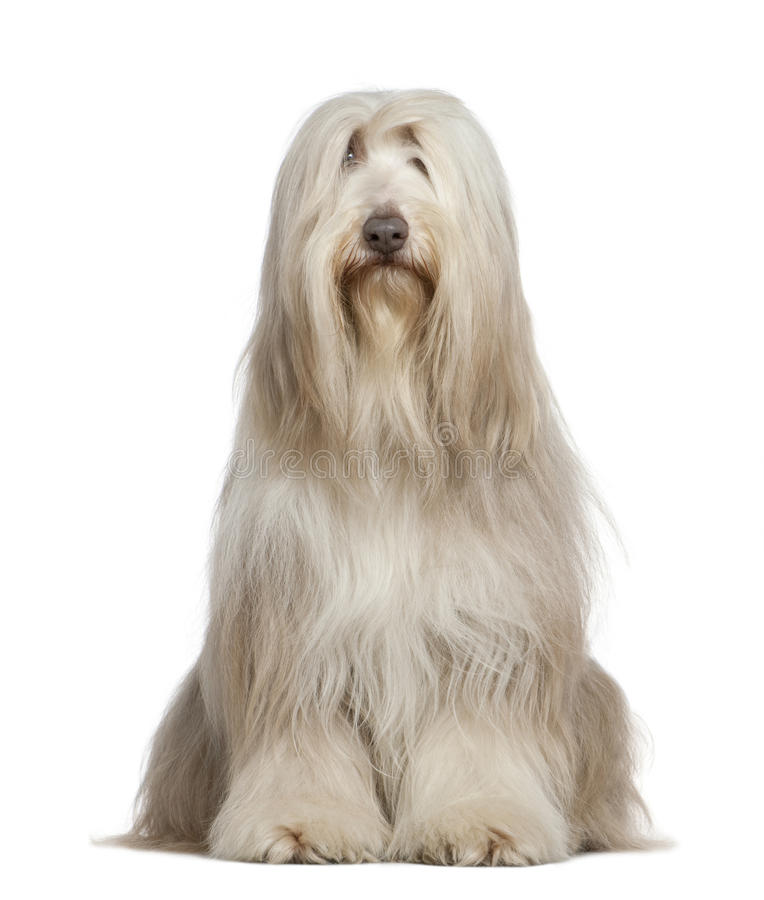 Download Bearded Collie, 6 Years Old Stock Image - Image of studio, collie: 14096271