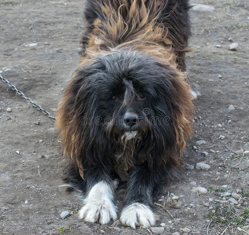 Bearded collie dog attentively looks at the photographer stretched forward front paws royalty free stock photo