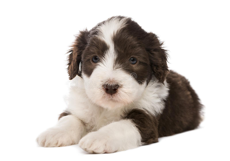 Bearded Collie puppy, 6 weeks old, lying stock photography