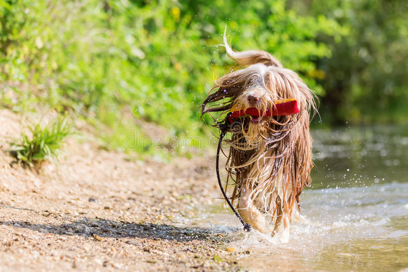 Bearded collie runs with a toy in the snout stock images
