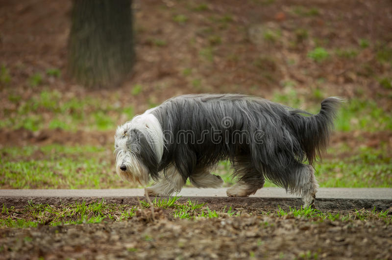 Bearded collie royalty free stock image