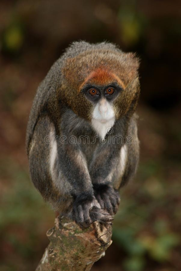 Bearded de Brazza's Monkey in Kitale, Kenya. Amazing Bearded de Brazza's Monkey in Kitale, Western Kenya - near extinction in Eastern Kenya royalty free stock photography