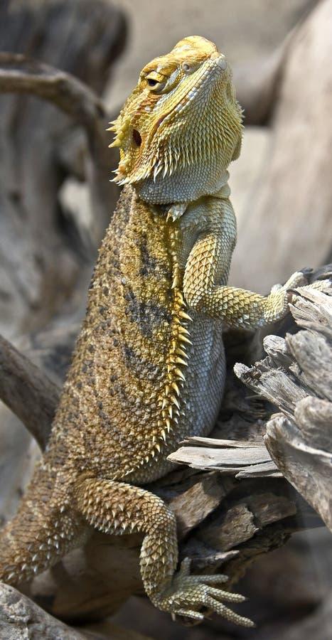 Bearded dragon 1 royalty free stock photo