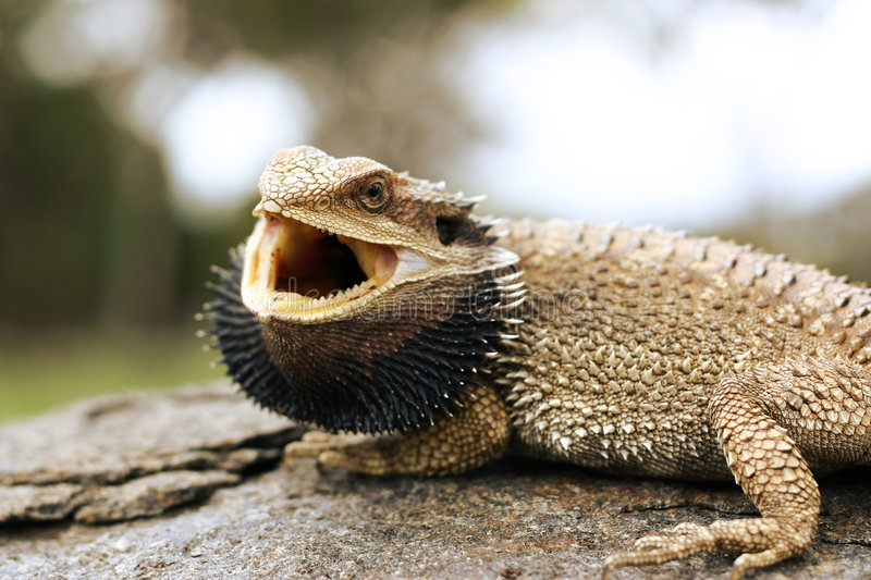 Download Bearded dragon stock image. Image of reptile, rough, bearded - 1180477