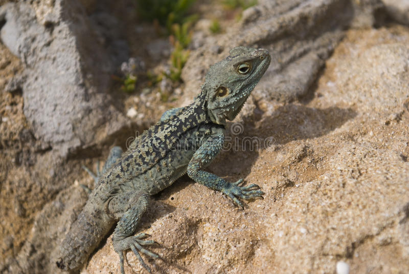 Download Bearded Dragon stock photo. Image of animals, green, wildlife - 13468324