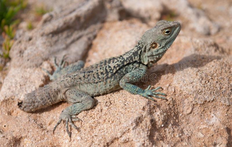 Download Bearded Dragon stock image. Image of reptile, animals - 15920115