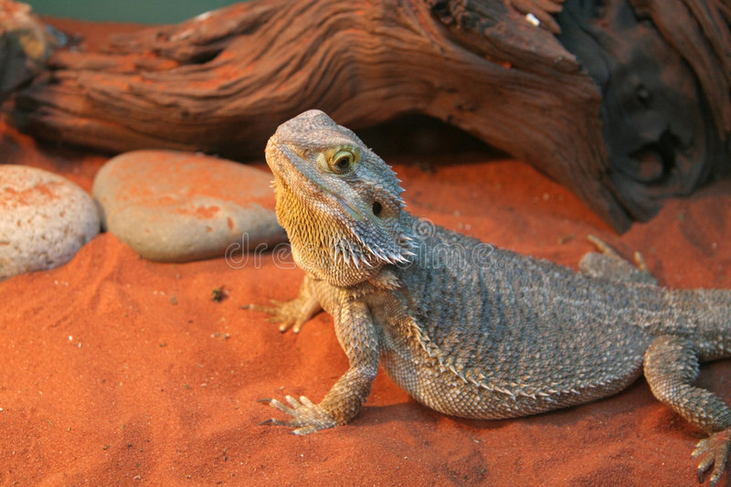 Download Bearded dragon stock image. Image of blooded, animal, lizard - 1714315