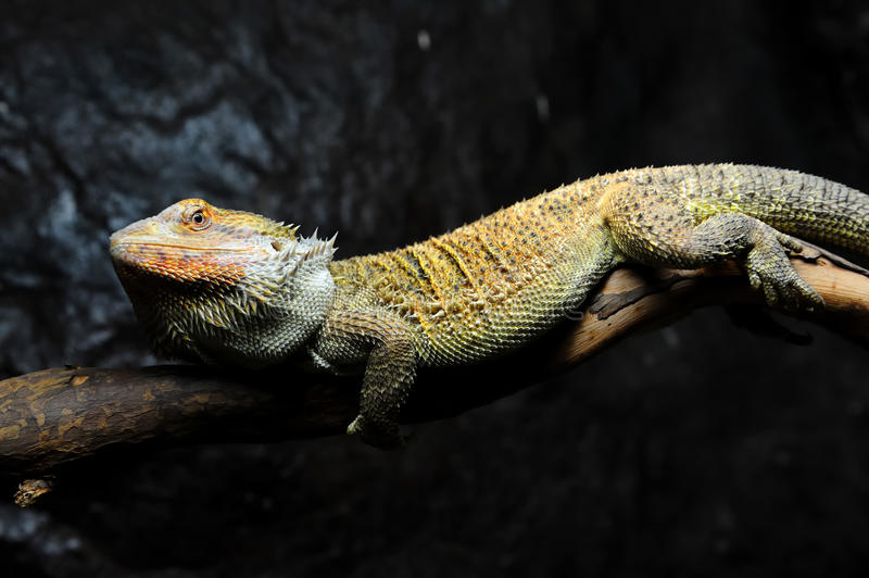 Bearded Dragon. In a zoo stock image
