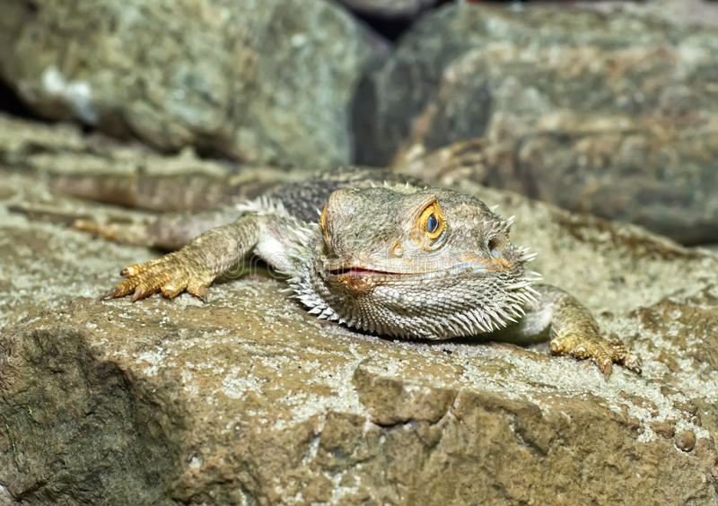 Download Bearded Dragon stock photo. Image of pets, wildlife, adolescent - 21592772