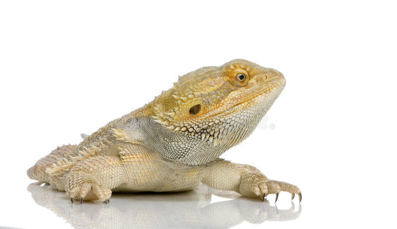 Download Bearded Dragon stock image. Image of dragoon, iguana, vertebrate - 2313559
