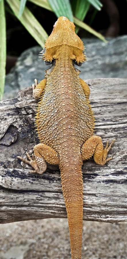 Free Bearded Dragon 3 Royalty Free Stock Images - 68927589
