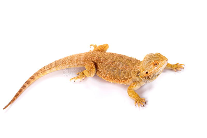 Bearded Dragon Agama Lizard stock photo