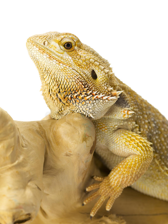 Download Bearded Dragon Bearded Dragon Stock Photo - Image: 26551624