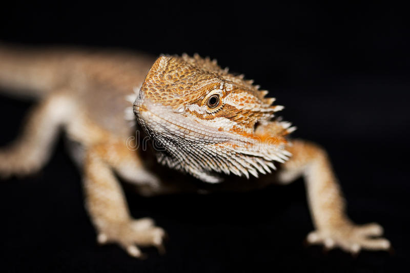 Bearded dragon on black. Bearded dragon isolated on a black background royalty free stock photography
