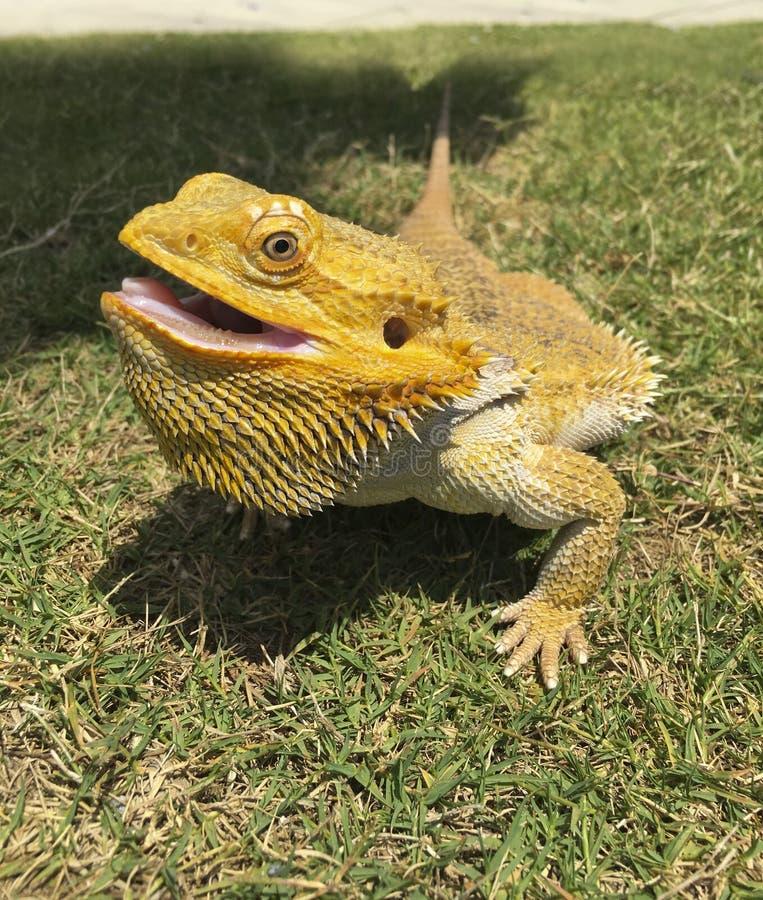 Bearded Dragon royalty free stock photography