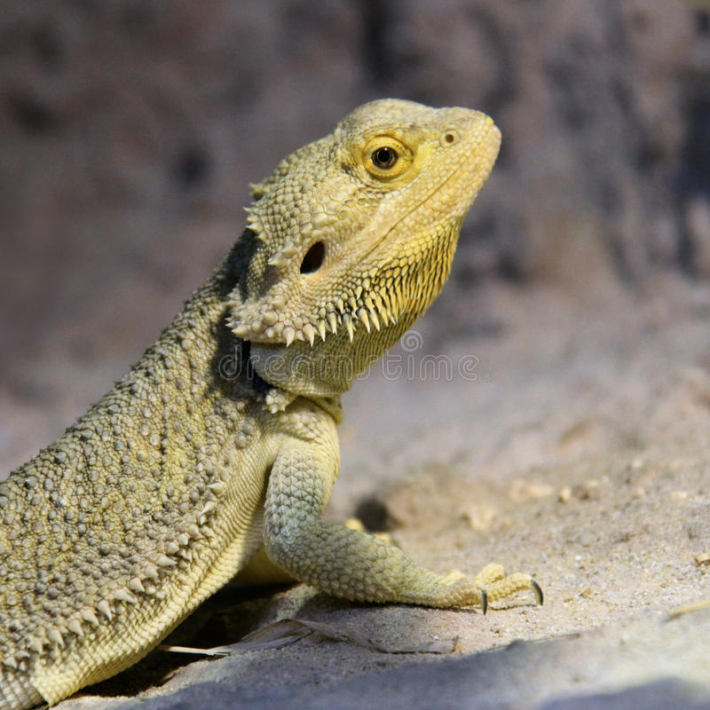 Bearded Dragon close up royalty free stock photos