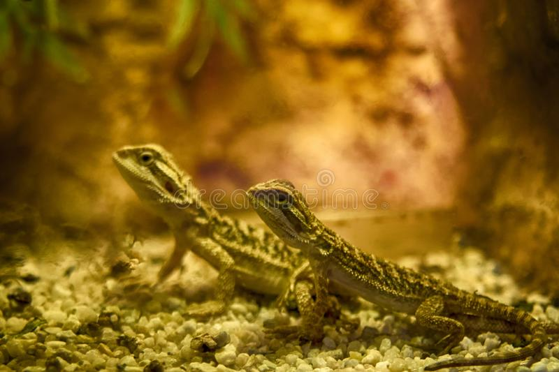 Bearded dragon close up, shallow dof. Pogona is a genus of reptiles containing nine lizard species which are often known by the c royalty free stock photo