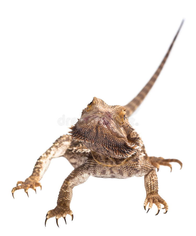 Download Bearded Dragon Gaze Royalty Free Stock Photos - Image: 24973408