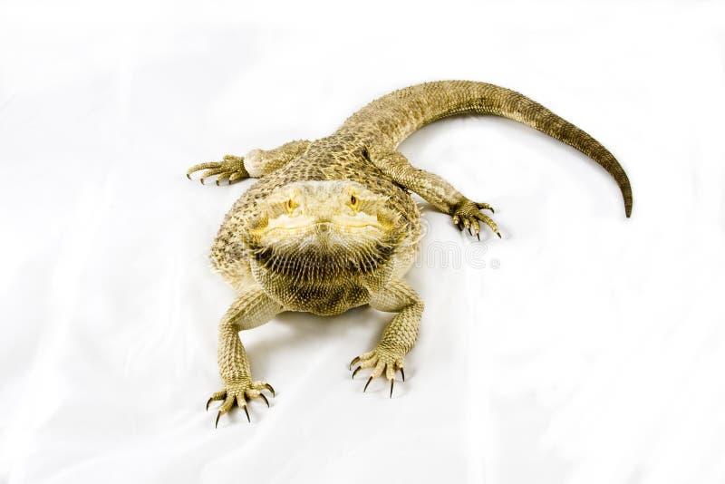 Bearded Dragon on Isolated White stock photo