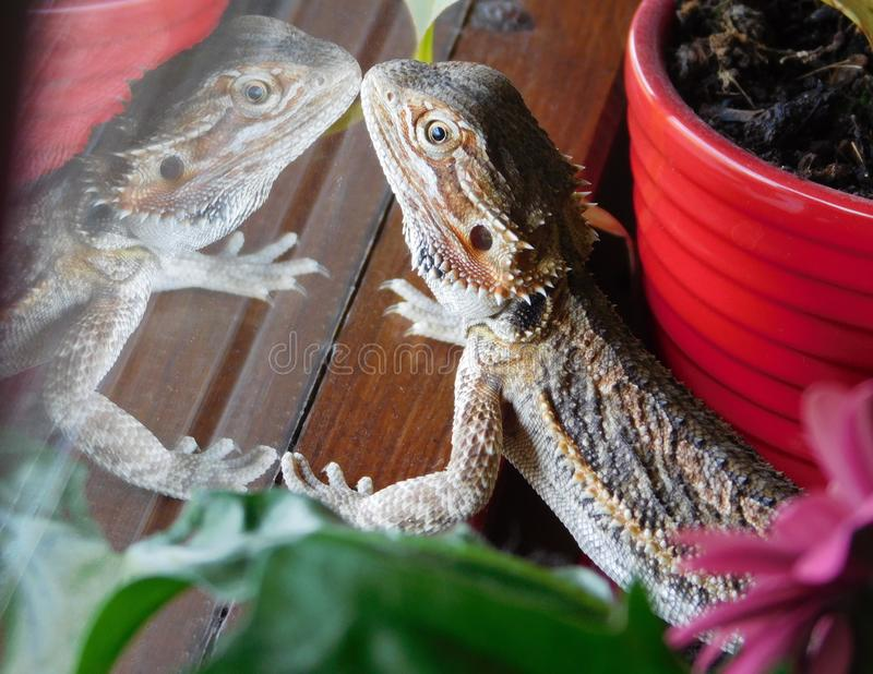 Bearded dragon and its reflection in the window royalty free stock photos