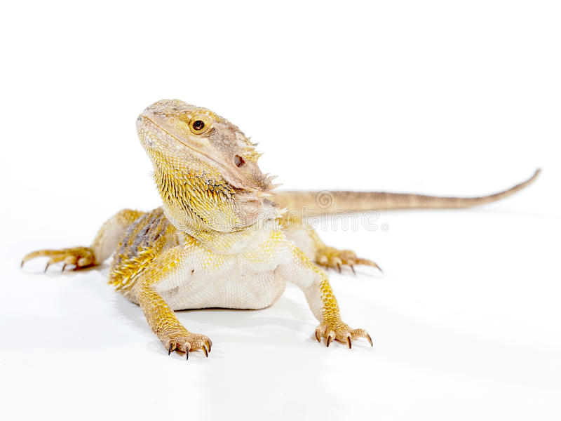 Bearded Dragon Lizard. A Bearded Dragon lizard, looking up at you from the front royalty free stock image