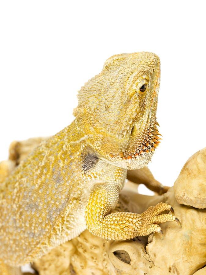Bearded Dragon Lizard Stock Photos