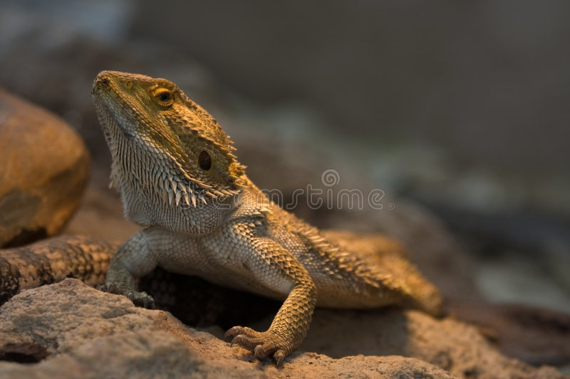 Download Bearded Dragon Lizard stock image. Image of close, armoured - 7068815