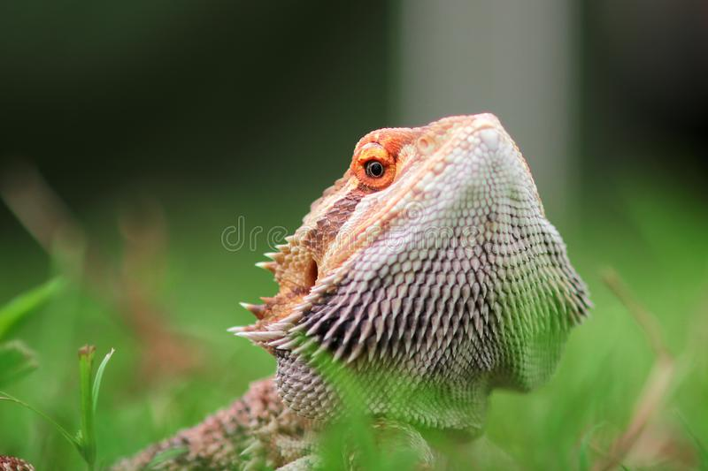 Bearded dragon lizard behind the grass royalty free stock image