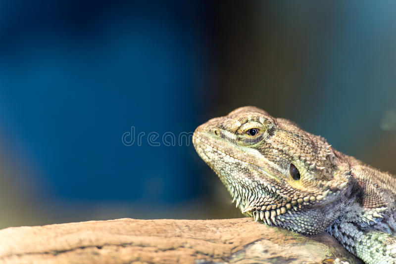 Bearded Dragon Lizard with space for text stock photo