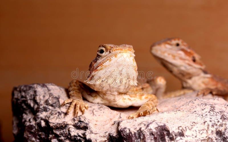 Bearded dragon lizards royalty free stock photo