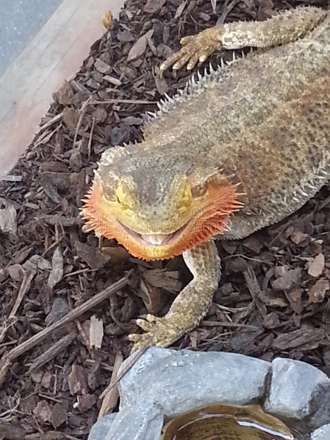 Smiling Bearded Dragon at the County Fair royalty free stock image