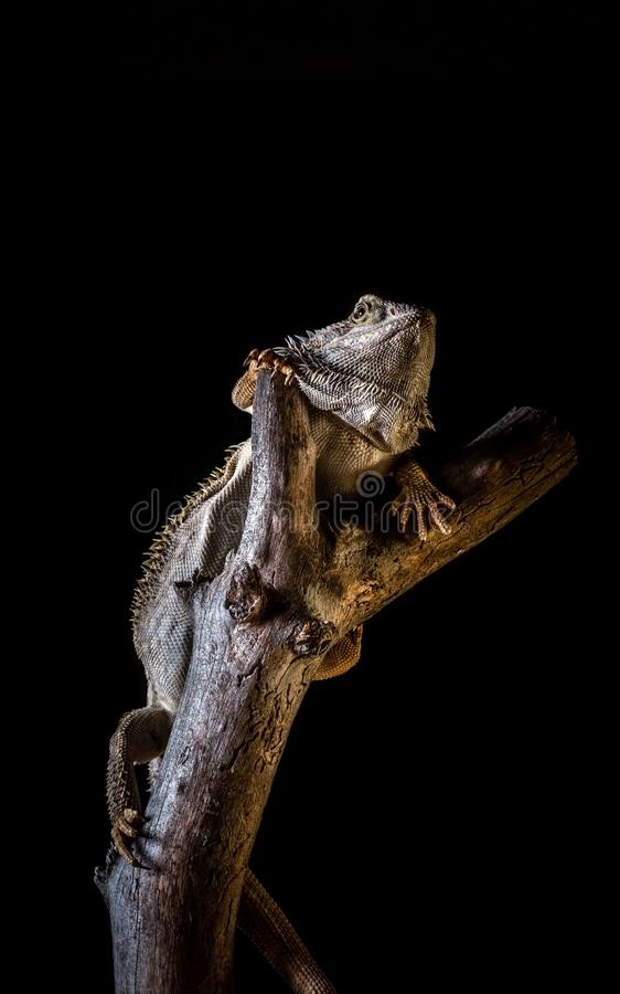 Bearded dragon on piece of dry wood on black background royalty free stock image