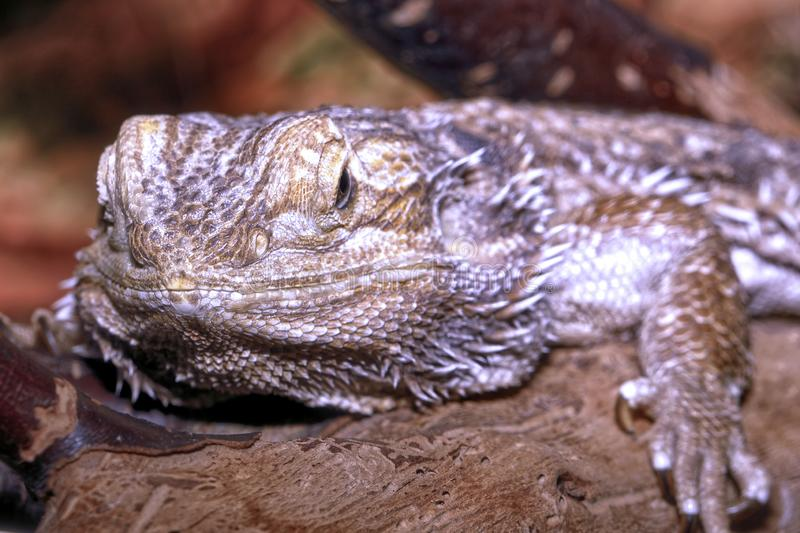 Bearded dragon pogona vitticeps large lizard resting on a branch royalty free stock photography