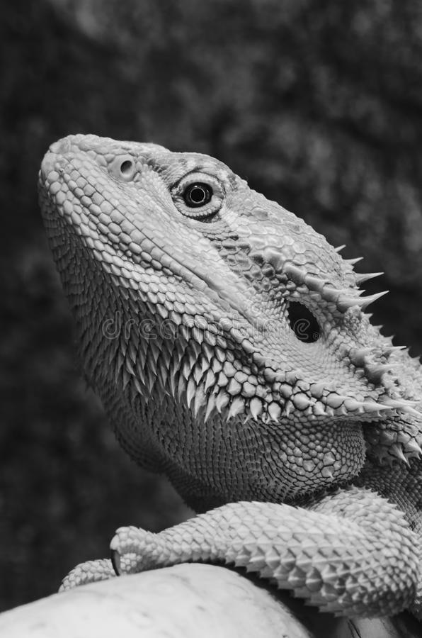 Bearded dragon profile. Bearded dragons head, black and white, spiky and rough textures royalty free stock photos
