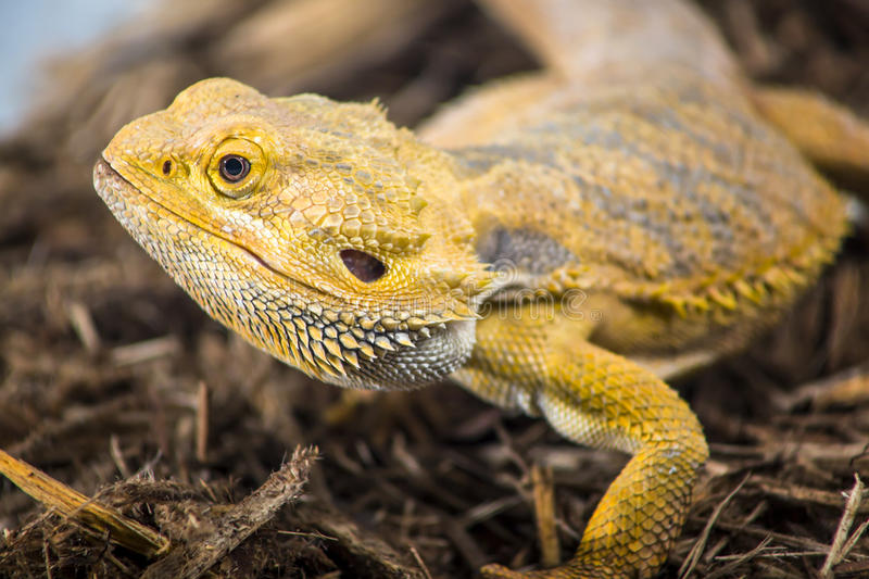 Bearded dragon profile royalty free stock images