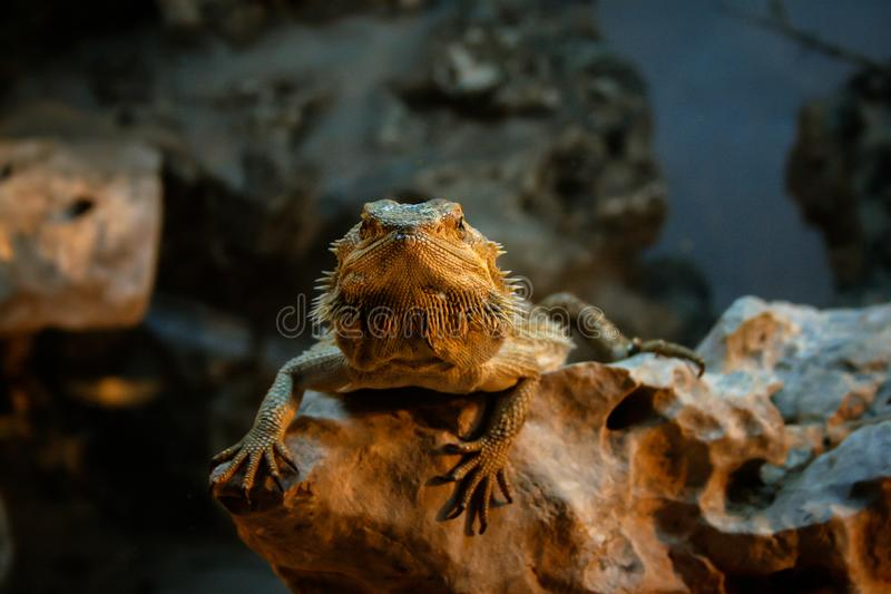 Bearded dragon resting on a rock royalty free stock images