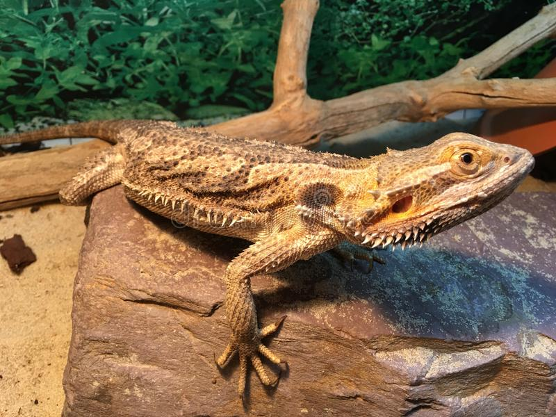 Bearded Dragon on Rock with sand stock images