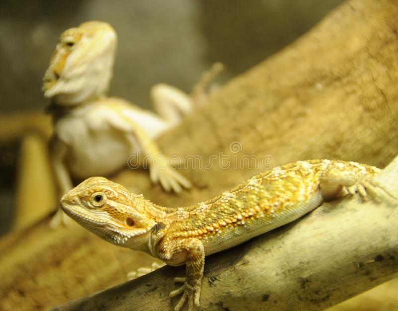 Download Bearded Dragon Siblings stock image. Image of museum, contrast - 6882827