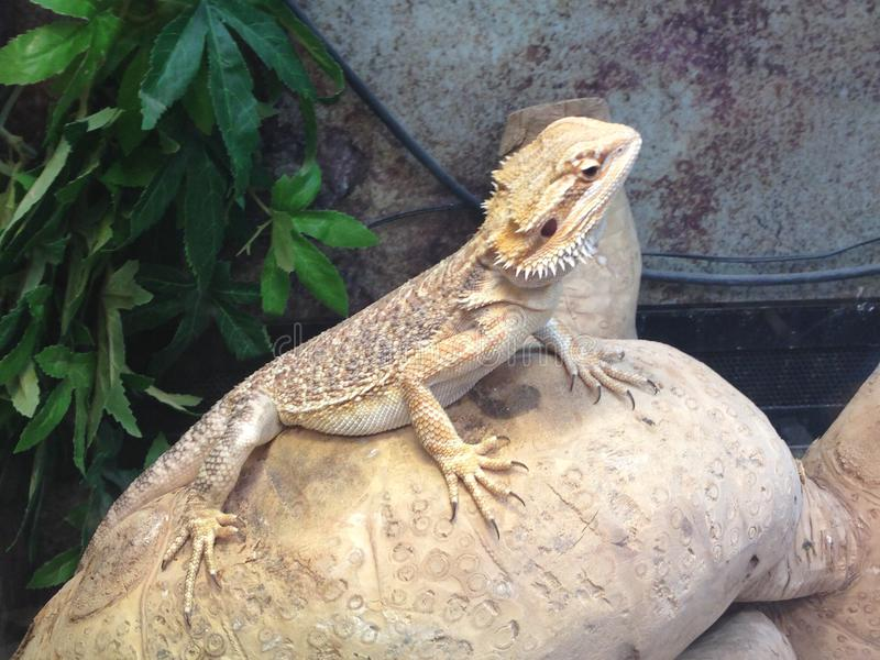 Bearded dragon. Sitting on rock stock photo