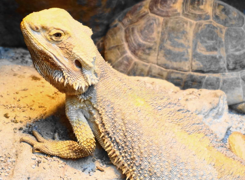 Bearded dragon and tortoise royalty free stock photo