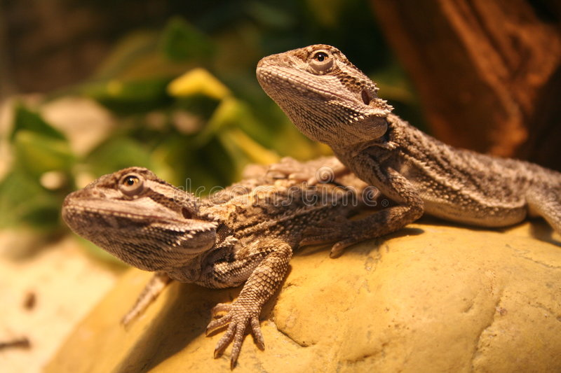 Download Bearded dragons stock image. Image of baby, dragons, bunch - 7687129