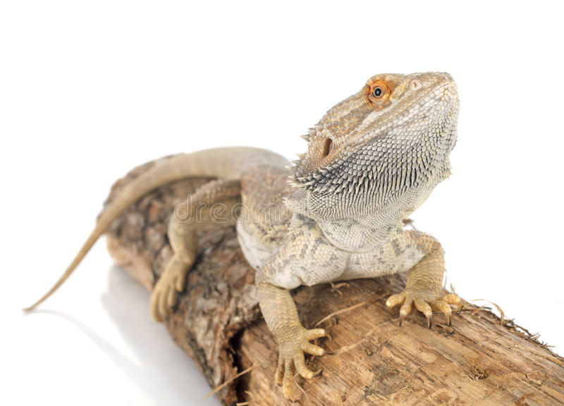 Bearded dragons. In front of white background stock photography