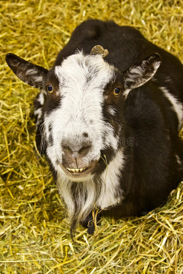 Bearded Goat. A bearded goat at the fair royalty free stock photo