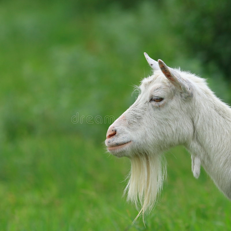 Bearded Goat stock photos