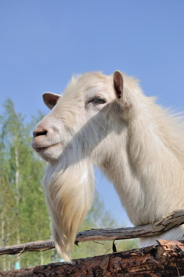 Free Bearded Goat Stock Photo - 71141850