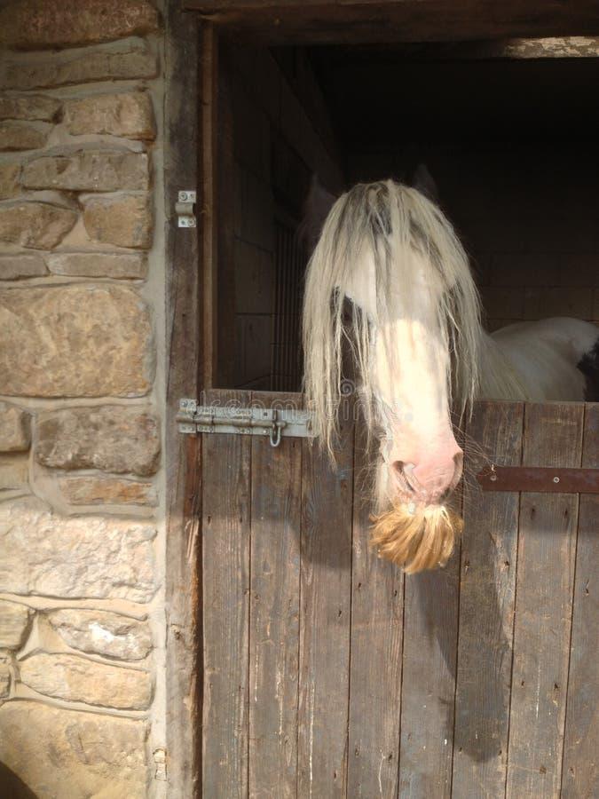 Bearded Horse royalty free stock photography