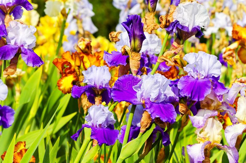 Bearded iris. Colored irises bloom in the flowerbeds royalty free stock image