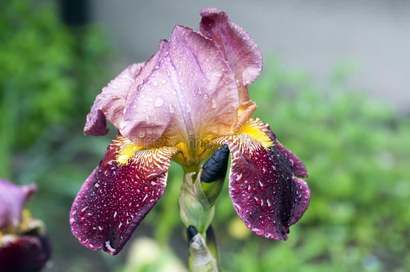 Bearded Iris flower, Iris germanica in bloom with rain drops. Bearded Iris flower, Iris germanica, in bloom, rain drops on petals, dark red purple flower stock photography